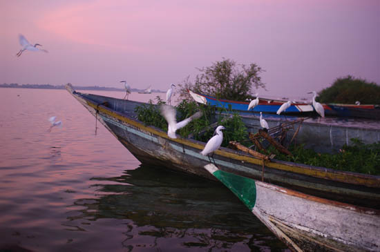 birds fishing lake victoria