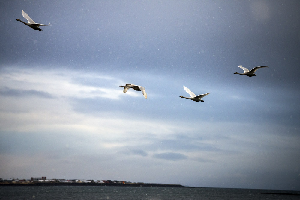 Swans in a light snow in Reykjavik on an Iceland road trip