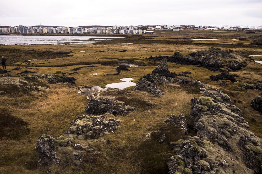Husky in Reykjavik on an Iceland road trip